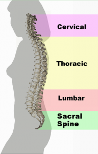 Different regions of the back